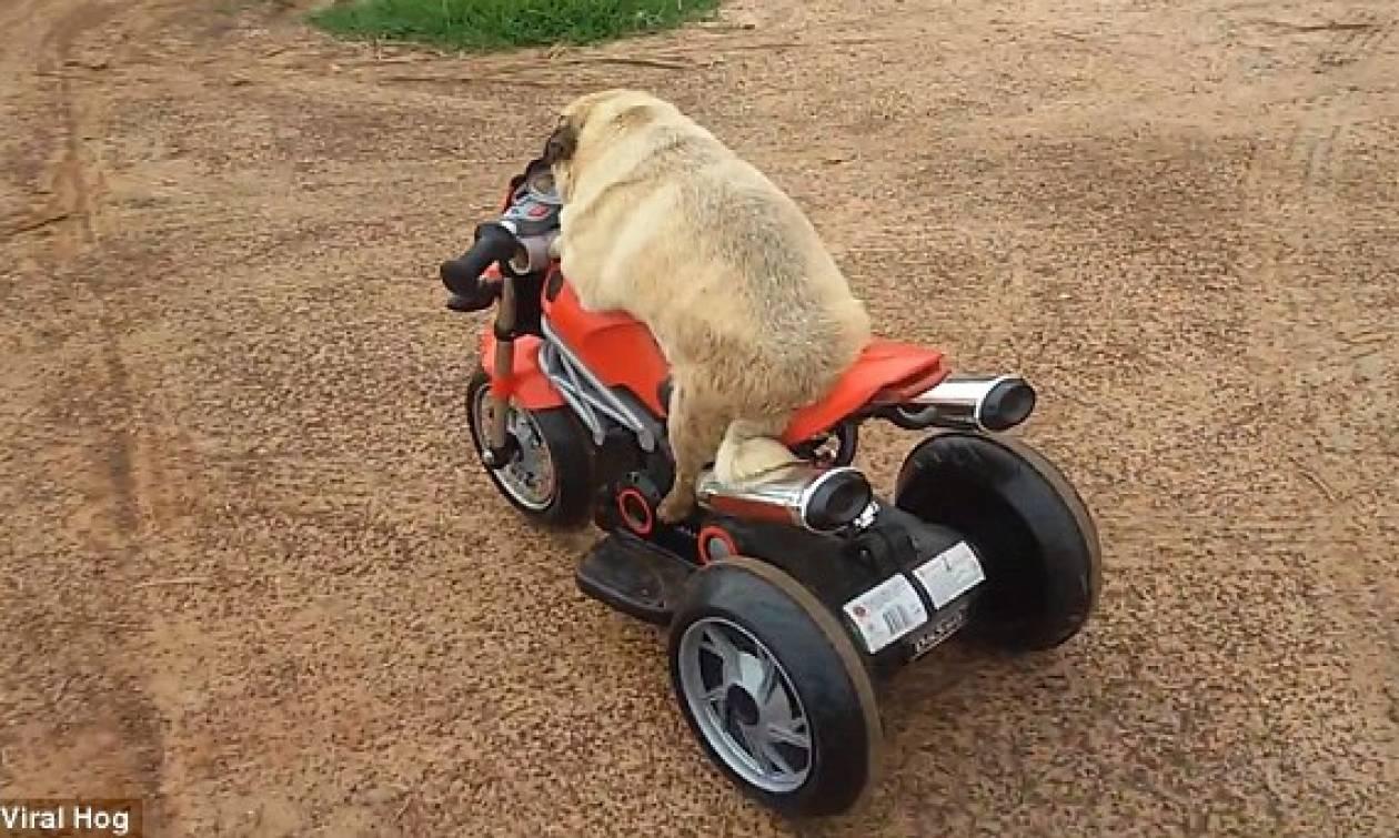 Easy Rider: Σκύλος με έμφυτο ταλέντο στην οδήγηση (video)