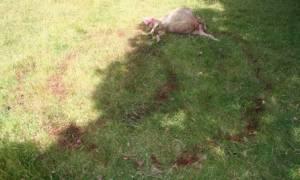 Σατανιστές θυσίασαν πρόβατο στην επαρχία της Αγγλίας