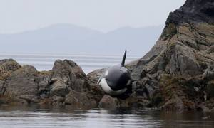 Μικρή όρκα κινδυνεύει αλλά διασώζεται σε ακτή του Καναδά (video)
