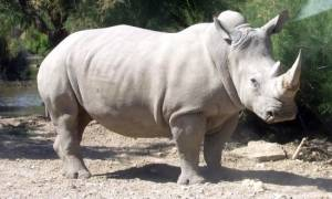 Νότια Αφρική: Δικαστήριο αποφάσισε την άρση του μορατόριουμ στην πώληση κεράτων ρινόκερου