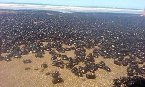 Εικόνες Αποκάλυψης: Εκατομμύρια «θαυματουργά» σκαθάρια τρομοκρατούν την Αργεντινή! (video)