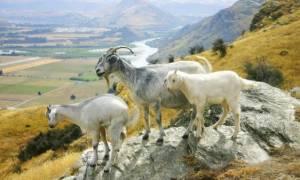 Νέα Ζηλανδία: Τετράποδη… συμμορία καταστρέφει κήπους και αυλές!