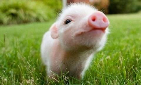 Ποιο όνομα απαγορεύεται να δώσετε στο γουρούνι σας στη Γαλλία;