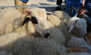 Χωρίς ελληνικά αμνοερίφια το Πάσχα του 2017, προειδοποιούν οι Έλληνες κτηνοτρόφοι