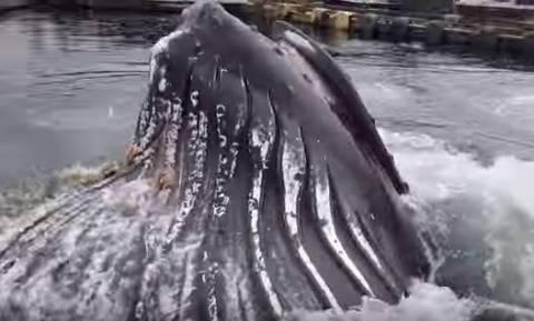 Μοναδικές εικόνες: Φάλαινα σκόρπισε τον πανικό σε λιμάνι της Αλάσκας! (vid)
