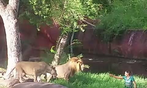 Απίστευτο βίντεο: Πήδηξε στο κλουβί με τα λιοντάρια για να τα… χαιρετήσει!