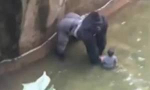 Θρίλερ σε ζωολογικό κήπο: Τετράχρονος έπεσε σε κλουβί γορίλα (vid)