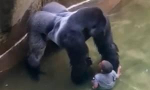 Νέο συγκλονιστικό βίντεο-ντοκουμέντο: Ο γορίλας προστάτευε το αγοράκι πριν τον σκοτώσουν!