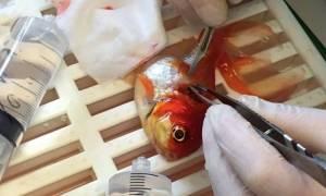 Πρωτοποριακή επέμβαση αφαίρεσης όγκου από ένα… χρυσόψαρο! (video+photos)