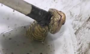 Τρόμος στην τουαλέτα: Κόμπρα παραμόνευε μέσα στη λεκάνη του! (video)