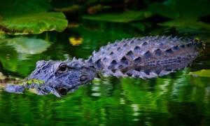 Απέλπιδες προσπάθειες για την ανεύρεση του παιδιού που άρπαξε αλιγάτορας στη Disney World (Vid)