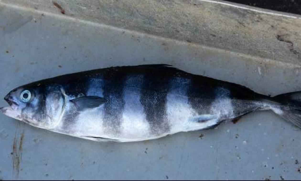 Έμειναν με το στόμα ανοιχτό στη Μυτιλήνη: Ψάρι - «μυστήριο» αναστατώνει το νησί