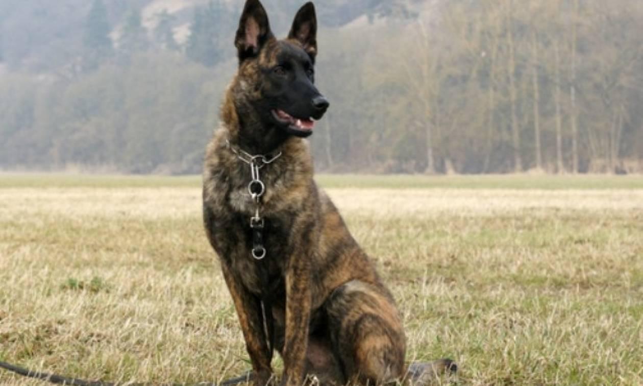 Ηράκλειο: Δύο εκπαιδευμένα γερμανικά τσοπανόσκυλα εντοπίζουν φόλες