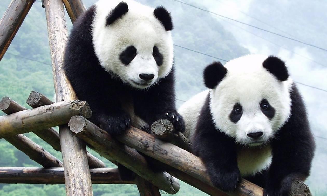 Ελεύθερα στη φύση τα δύο γιγαντιαία πάντα της Κίνας (Vid)