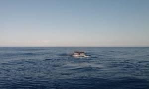 Κρήτη: Συχνότερες οι επισκέψεις φαλαινών στα νερά του νησιού (vid)