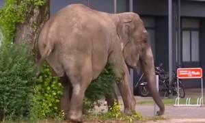 Ελέφαντας βολτάρει καθημερινά στους δρόμους του Βερολίνου (vid)
