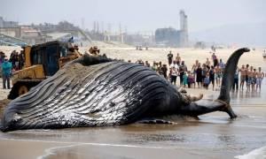 ΗΠΑ: Γιγάντια φάλαινα ξεβράστηκε σε παραλία του Λος Άντζελες και προκάλεσε αναστάτωση