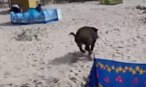 Αγριόχοιρος βγήκε... παγανιά και πήρε στο κυνήγι λουόμενους σε παραλία (video)