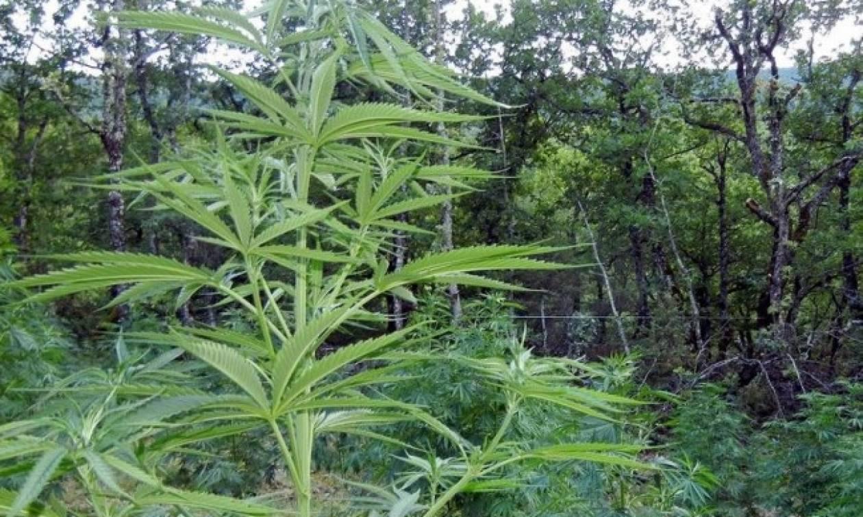 «Ορφανή» φυτεία χασίς με 141 δενδρύλλια εντοπίστηκε στην Οιχαλία
