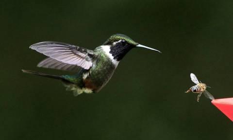 Κολιμπρί: Τα γαλαζοπράσινα πουλιά που είναι πιο αποδοτικά από ένα κατασκοπευτικό ελικόπτερο