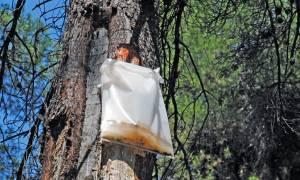 Τεράστια η οικολογική καταστροφή στην Εύβοια - Άμεσα οι αποζημιώσεις στους ρητινοκαλλιεργητές