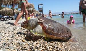 Nεκρή χελώνα Καρέτα- Καρέτα εντοπίστηκε στη Σαλαμίνα