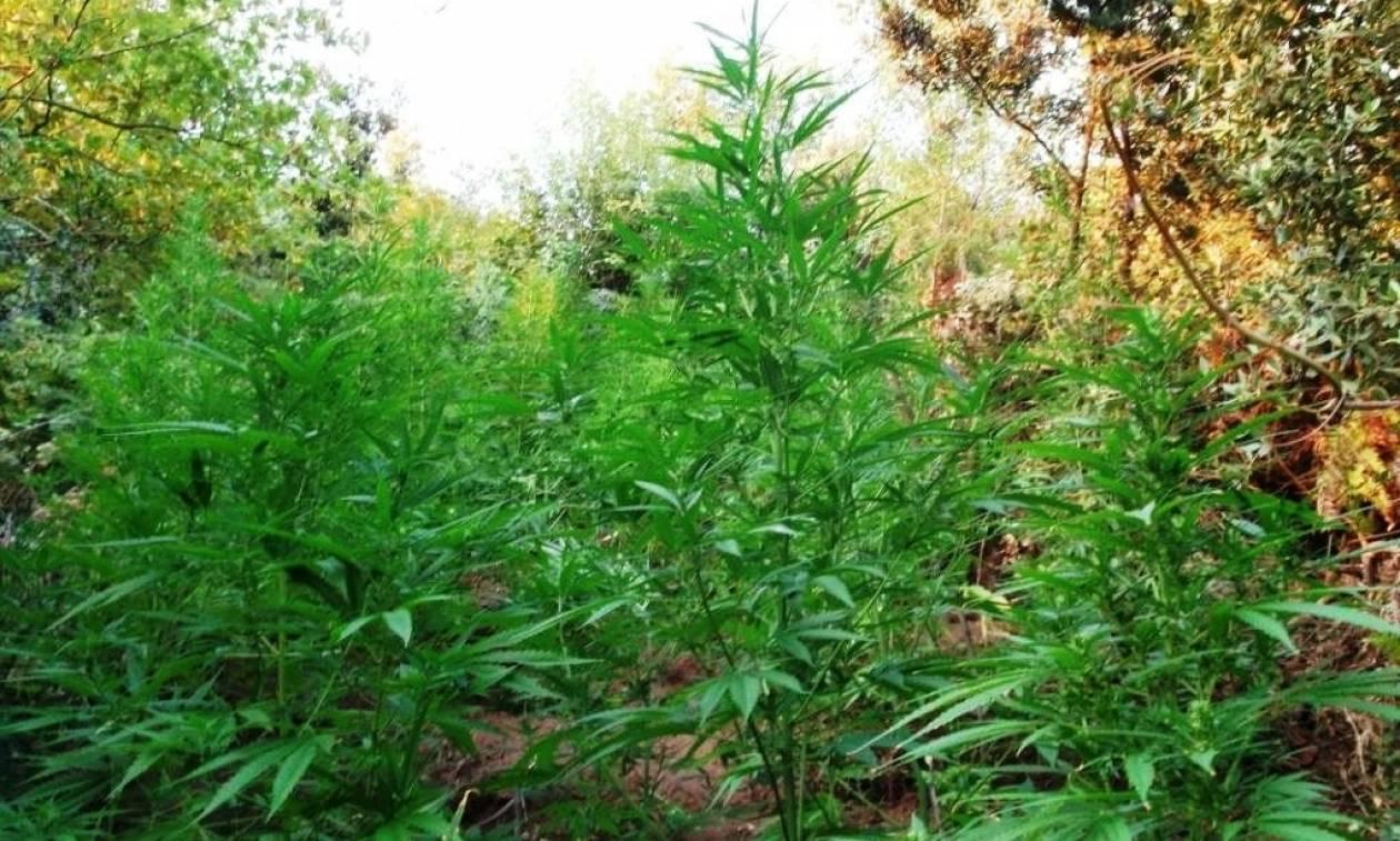 Φυτεία με 450 δενδρύλλια κάνναβης εντοπίστηκε στην Κάτω Πτέρη Αιγιαλείας (pics)