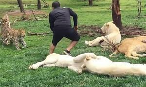 Απίστευτο βίντεο: Τίγρης σώζει εργαζόμενο ζωολογικού κήπου από λεοπάρδαλη!