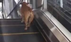 Εγινε κι αυτό: Σκύλος κατεβαίνει... ανάποδα κυλιόμενες σκάλες καταστήματος (video)