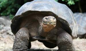 Μαλαισία: Ο «Ομπάμα» μολύνει τις χελώνες
