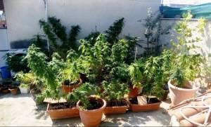 Το τσιγαριλίκι αποκάλυψε φυτεία 115 δενδρυλλίων κάνναβης!