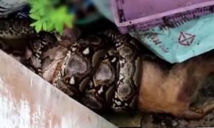 Φρικιαστικό βίντεο: Έπιασε πύθωνα να καταπίνει το σκύλο της και δείτε τι έκανε