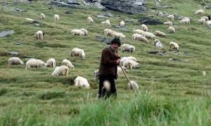 ΟΠΕΚΕΠΕ: Μέχρι τα τέλη Οκτωβρίου οι αποζημιώσεις σε κτηνοτρόφους