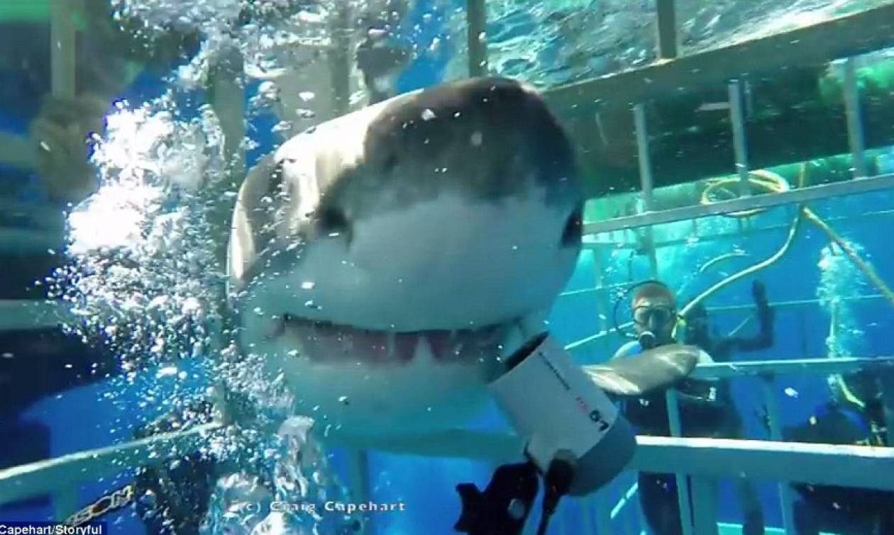 Τρόμος: Λευκός καρχαρίας μπήκε σε κλουβί που βρισκόταν δύτης (pics + vid)
