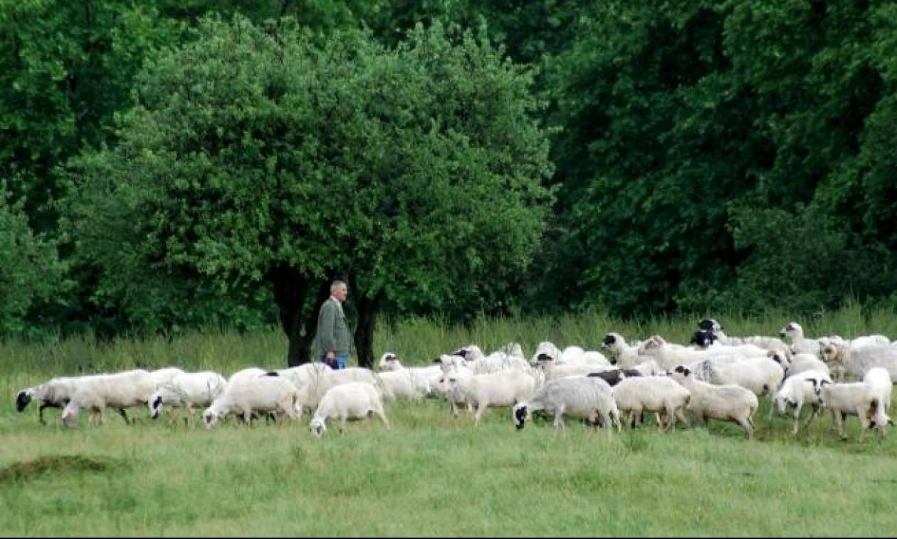 «Μπλόκο» στις πληρωμές αποζημιώσεων σε κτηνοτρόφους της Θεσσαλίας