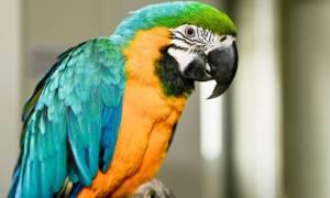Την... πάτησε: Ο πολυλογάς παπαγάλος «κάρφωσε» την κρυφή σχέση του!