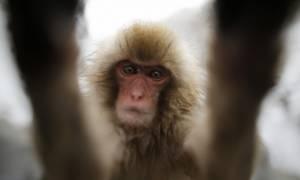 Απίστευτο: Μαϊμού προκάλεσε βεντέτα με τραγικό απολογισμό 16 νεκρούς!