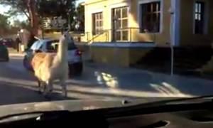 Ρόδος: Κοιτούσαν το ζώο που διέσχιζε το δρόμο και δεν πίστευαν στα μάτια τους! (vid)