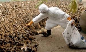 Συναγερμός στην Ιαπωνία: Μάχη με νέα γρίπη των πτηνών - Θανατώνουν εκατοντάδες χιλιάδες πουλερικά