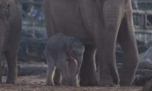 Εντυπωσιακό: Δείτε καρέ - καρέ τη γέννηση ενός ασιατικού ελέφαντα (video)