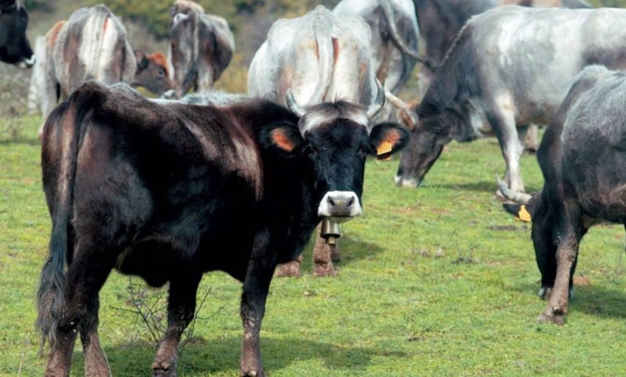 Κοζάνη: Το μικρόβιο της βρουκέλλας εντοπίστηκε σε μονάδα βοοειδών
