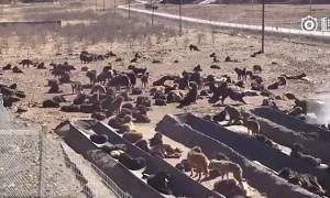 Σπαρακτικές εικόνες: Χιλιάδες Θιβετιανά Μαστίφ εγκαταλελειμμένα στην Κίνα (photos&video)
