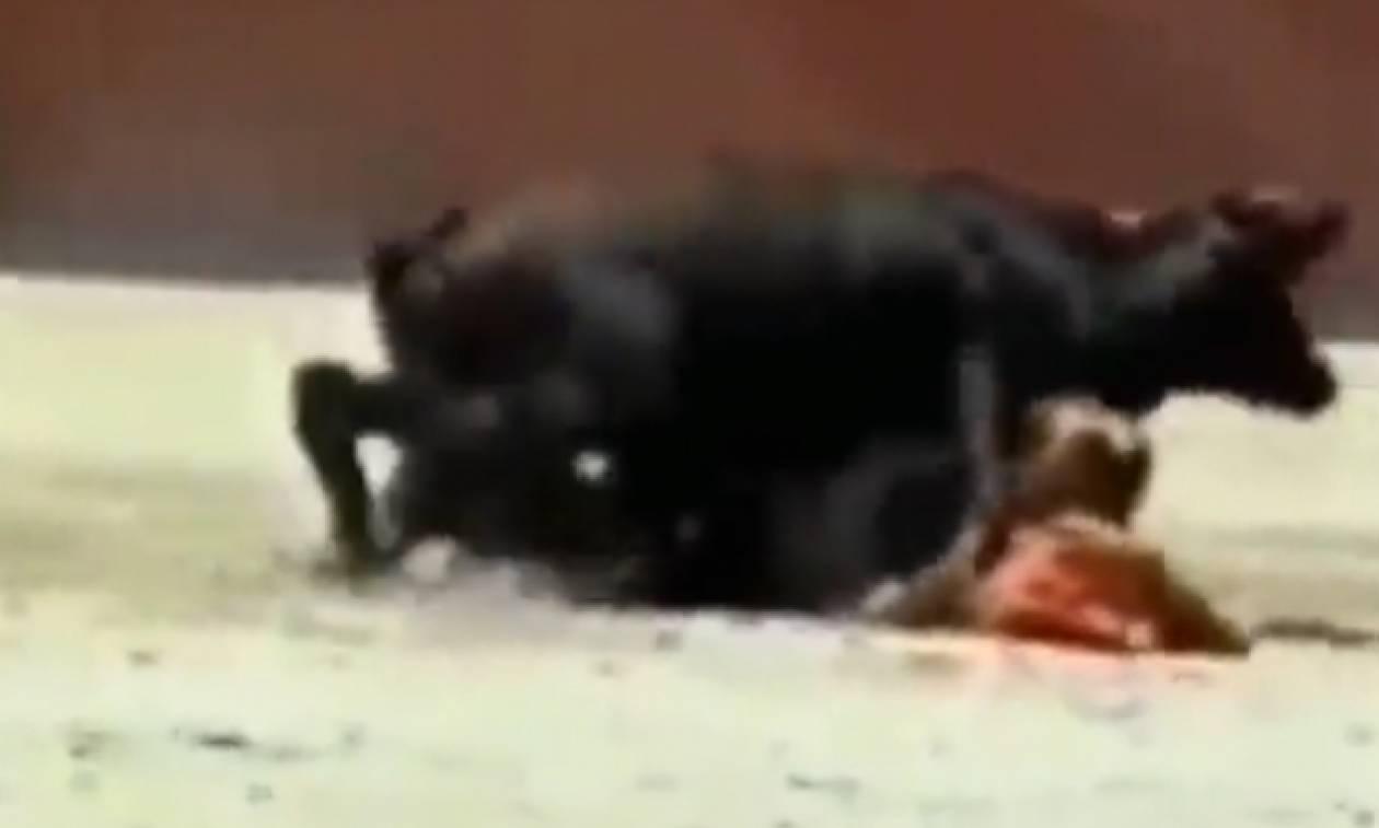 Ταύρος... καβάλησε γυναίκα ταυρομάχο κατά τη διάρκεια ταυρομαχίας και άρχισε να... (video)
