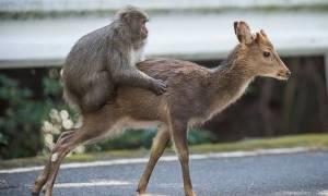 Απίστευτο βίντεο: «Αχόρταγη» μαϊμού την έπεσε για σεξ σε δύο ελάφια – Δεν φαντάζεστε τι έκανε τελικά