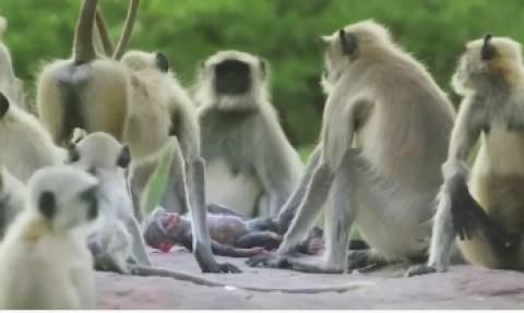 Απίστευτο βίντεο: Μαϊμούδες αγκαλιάζονται και θρηνούν νεκρό... μαϊμουδάκι