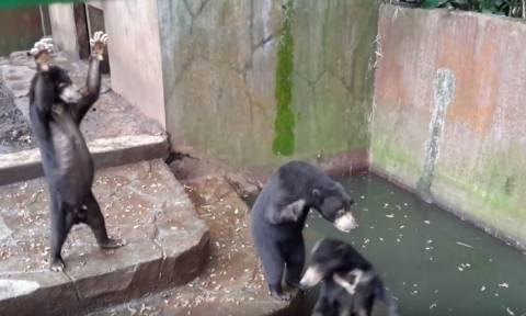 Εξοργιστικό βίντεο! Αποστεωμένες αρκούδες παρακαλούν για λίγα ψίχουλα σε ζωολογικό κήπο