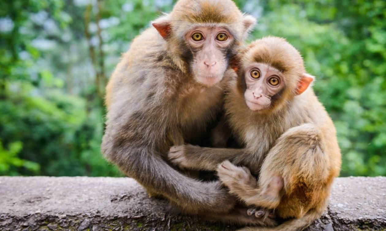 Σχεδόν δύο στα τρία είδη πιθήκων και μαϊμούδων απειλούνται με εξαφάνιση