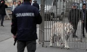 Τρόμος: Τίγρης της Σιβηρίας «το έσκασε» από τσίρκο και έκοβε βόλτες στην πόλη! (vid)
