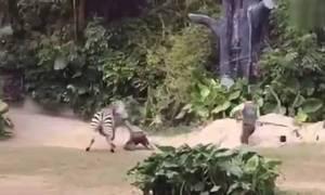 Η σοκαριστική επίθεση ζέβρας σε υπάλληλο ζωολογικού κήπου! (vid)