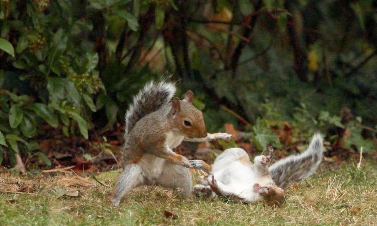 Σκίουροι «καρατερίστες» δίνουν μάχη για λίγα καρύδια (photos)